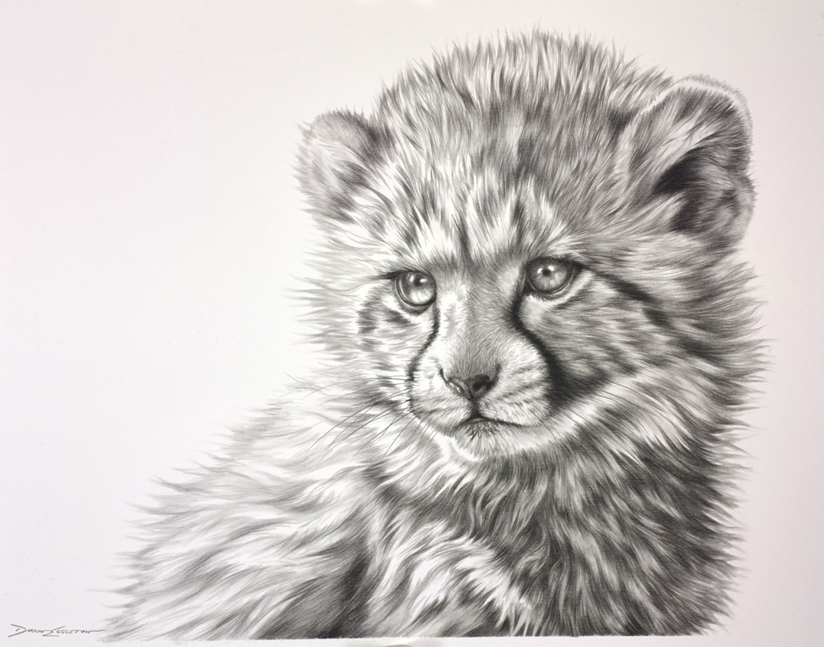 Cheetah Cub Study II by darryn eggleton -  sized 14x11 inches. Available from Whitewall Galleries